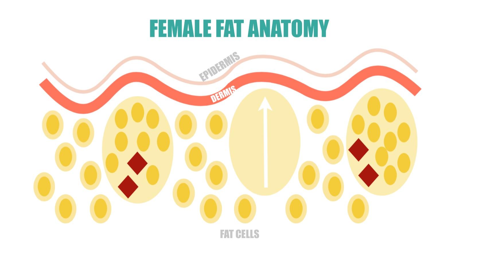 Female Fat Anatomy | simplerootswellness.com