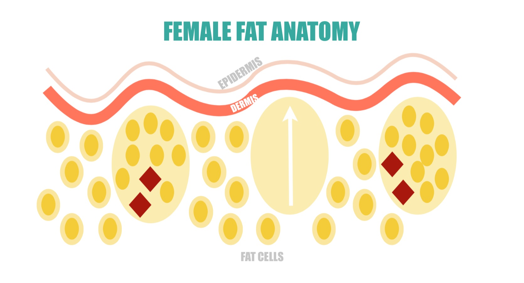 Female Fat Anatomy | simplerootswellness.com